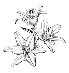 floral blooming lilies hand drawn vector image vector image