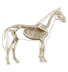 Engraving skeleton of horse vector