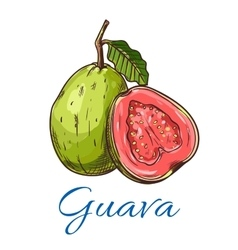 Guava fruit icon vector