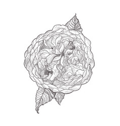 Austin rose pink flower isolated on white vector