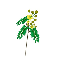 A fresh senna siamea on white background vector