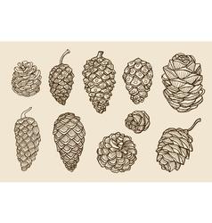 Pine cones of cedar spruce fir christmas tree vector image