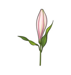 white lily flower bud with stem and leaves side vector image