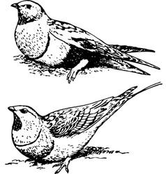 bird pterocletes vector image vector image