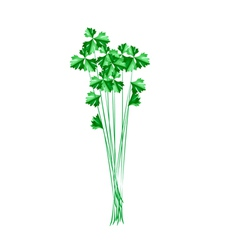 Fresh green chinese celery on white background vector