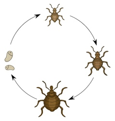 Head louse cartooon vector