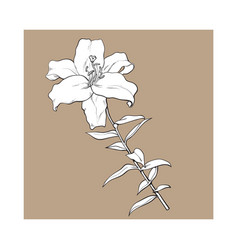 Single white lily flower with stem and leaves vector