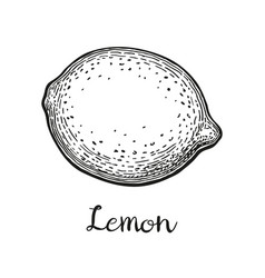 ink sketch of lemon vector image vector image