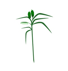 Fresh sesame plant on a white background vector