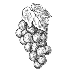 Bunch of grapes Black and white vintage engraving vector image vector image
