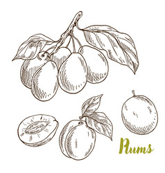 plums branch with leaves hand drawn vector image