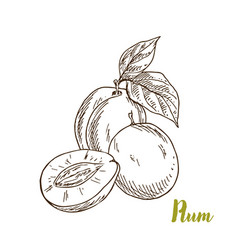 plums hand drawn sketch vector image vector image