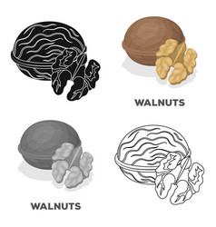 Walnats in the shelldifferent kinds of nuts vector