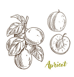 apricots branch with leaves half of the fruit vector image vector image