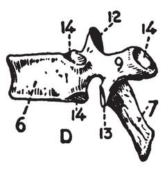 Dorsal vertebra vintage vector