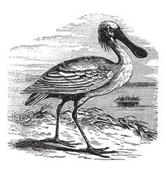 Eurasian Spoonbill vintage engraving vector image