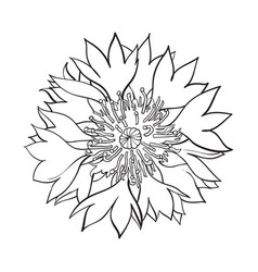 Open cornflower blossom top view sketch style vector