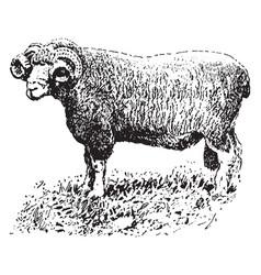 Dorset horn ram vintage vector