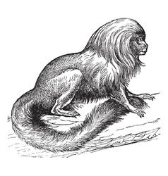 Tamarin vintage engraving vector