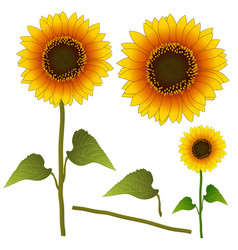Sunflower or helianthus isolated vector