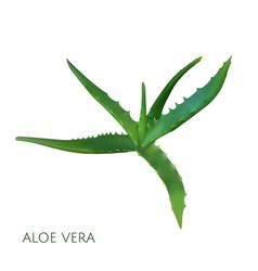 realistic aloe vera on white vector image