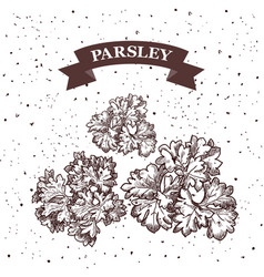 Parsley herb and spice label engraving vector
