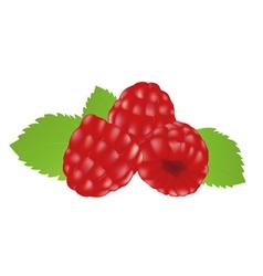 raspberries vector image