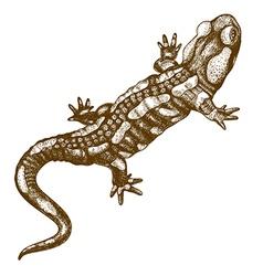 Engraving salamander vector