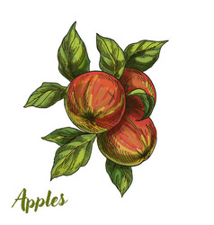 three apples on branch with leaves vector image vector image