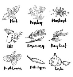 Set of spice and herbs isolated on white vector