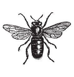 Male or drone bee vintage vector