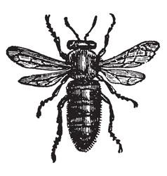 Female or queen bee vintage vector