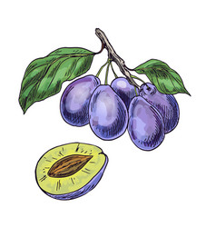 purple plums on the branch with leaves vector image vector image