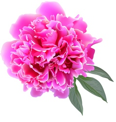 Pink realistic paeonia flower with tree leaves vector