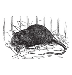 House mouse vintage engraving vector