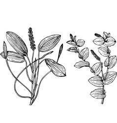 plant potanogeton vector image vector image
