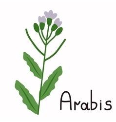 Isolated arabis plant vector
