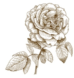 engraving rose vector image vector image