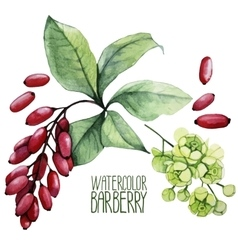 Watercolor barberry set vector image vector image