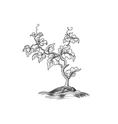 plant with leaves engraving decorative grape tree vector image vector image