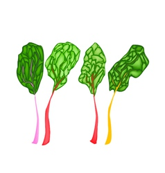 Fresh ruby red chard on white background vector