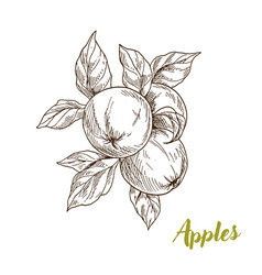 apples branch and leaves hand drawn vector image vector image