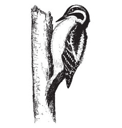 Downy woodpecker vintage vector