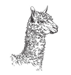 lama hand drawing vector image