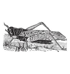 Migratory locust vintage engraving vector
