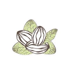 Shea nut vector