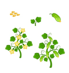 Cucumber plant with seeds and flowers vector