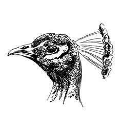 Hand sketch of the head of a peacock vector image