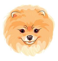 cute dog pomeranian vector image
