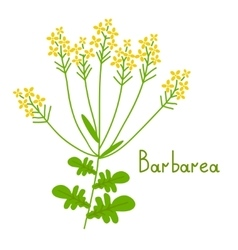 Isolated barbarea plant vector